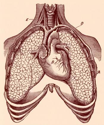 Human Heart & Lungs, Circa 1911