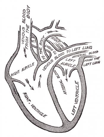 Human Heart Blood Circulation, Circa 191