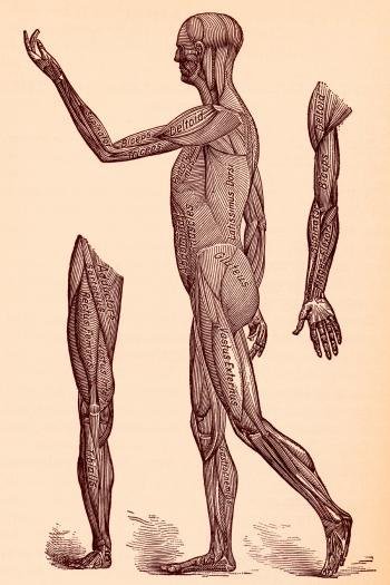 Human Musculature System, Circa 1911