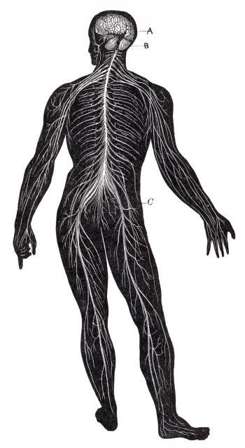 Human Nervous System, Circa 1911