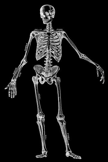 Human Skeleton, Circa 1911