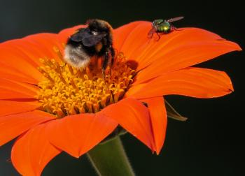 Hummel Bee Pollinating