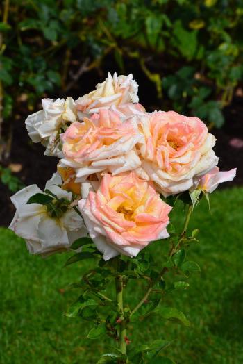 Hybrid tea rose 'Creme Caramel'