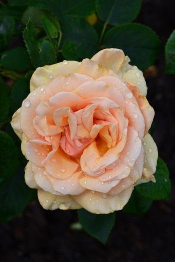 Hybrid tea rose 'Royal Parks'