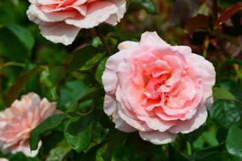 Hybrid tea rose 'Thelma Barlow'