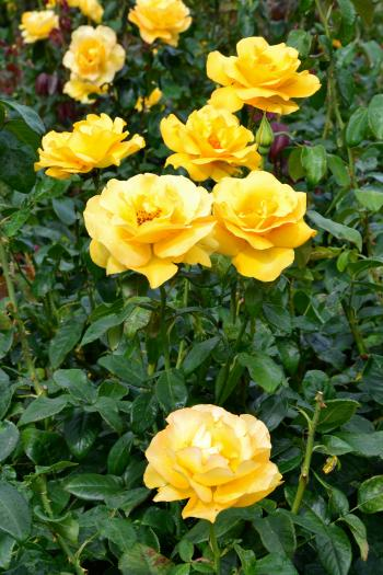 Hybrid tea roses 'Keep Smiling'