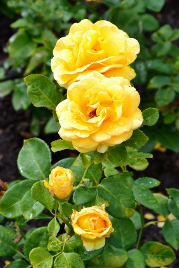Hybrid tea roses 'You Are My Sunshine'