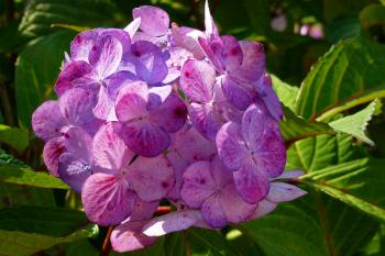 Hydrangeas Flowers Closeup