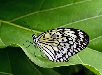 Idea leuconoe - Paper Kite.