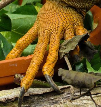 Iguana Claws