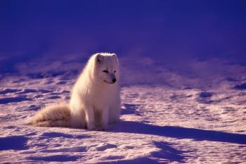 In Norway - White Dog
