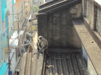 Indian lemur