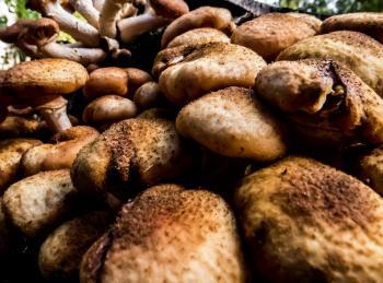 Inedible mushrooms