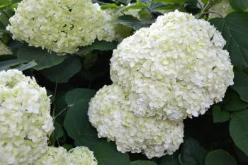 Inflorescence of smooth hydrangea