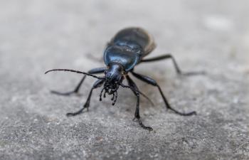 Insect - beetle bug