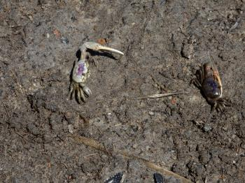 Invertebrate fiddler crabs Lee's nature park ncwetlands KG