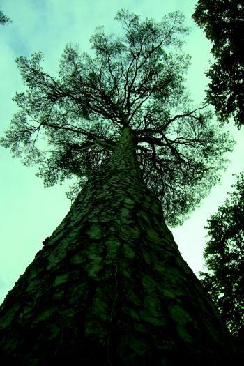 Irish tree