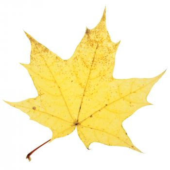 Isolated Autumn Leaf