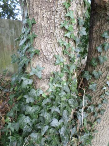 Ivy climbing up tree
