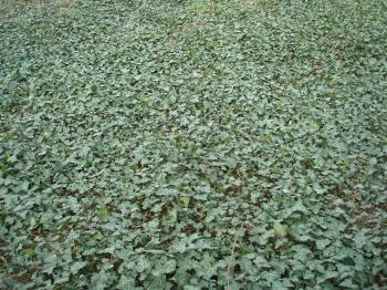 Ivy covered ground