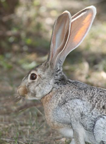 JACKRABBIT, ANTELOPE (Lepus alleni) (9-21-10) west end, pat lake state park, scc, az -03