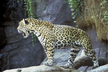 Jaguar Roar