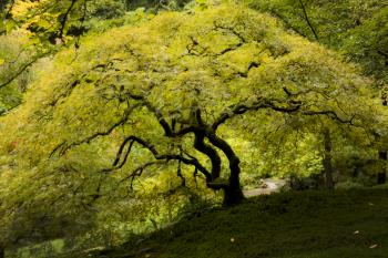 Japanese Gardens, Oregon, Maple Tree