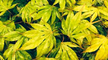Japanese Maple as a texture