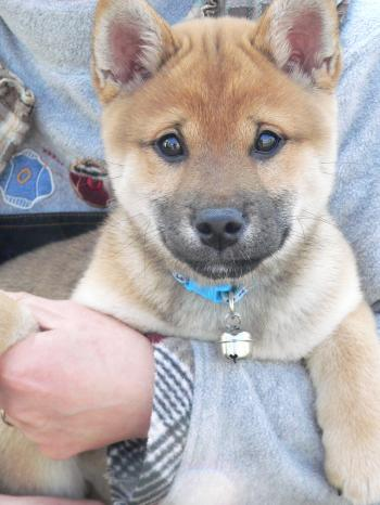Japanese Shiba inu puppy held in arms