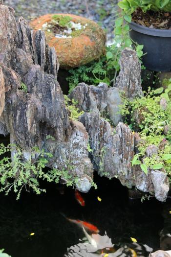 Japanese style garden pond with koi carp fish