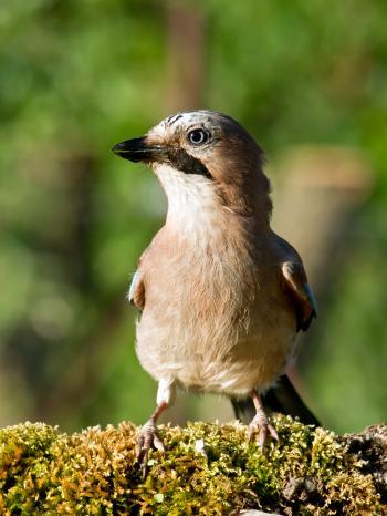 Jay bird (Garrulus glandarius)