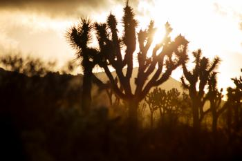 Joshua Tree sunrise #1