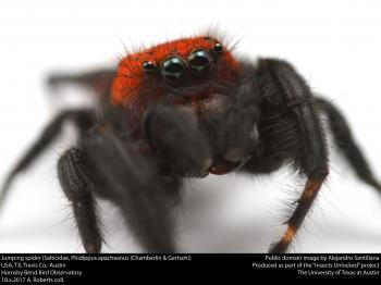 Jumping spider (Salticidae, Phidippus apacheanus (Chamberlin & Gertsch))