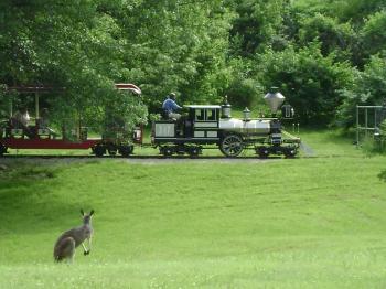 Kangaroo watching the Train