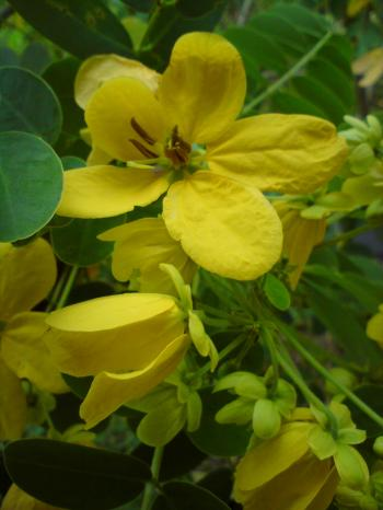 Kantil yellow flowers