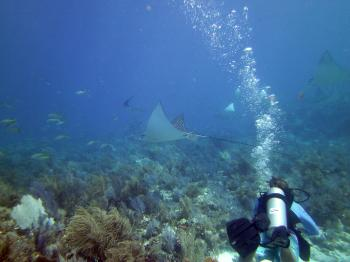 Keith and Spotted Eagle Ray near Fire Coral Cave Key Largo