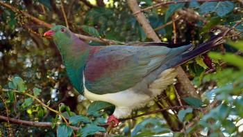 Kereru. NZ Wood Pigeon.