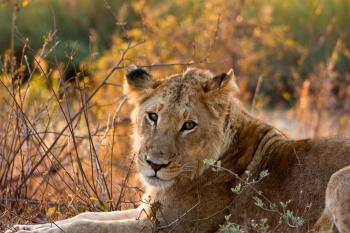 Kruger Park Lioness