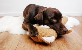 Labrador dog cuddling with teddy bear