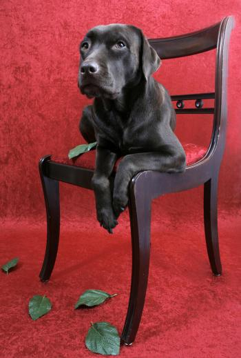 Labrador dog on chair