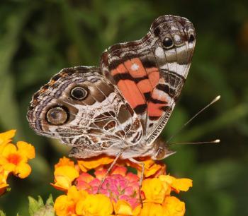 LADY, AMERICAN ( Vanessa virginiensis) (9-17-10) 78 circulo montana, pat lake ranch estates, scc, az -01