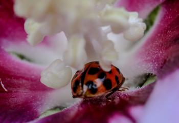 Ladybug on the Flower