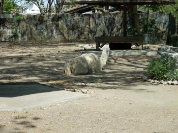 Lama at Surabaya Zoo