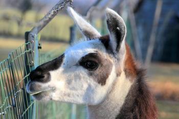 Lama in the Zoo