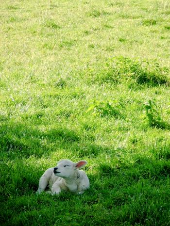 Lamb in meadow