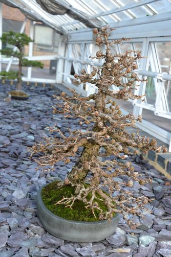 Larch bonsai tree