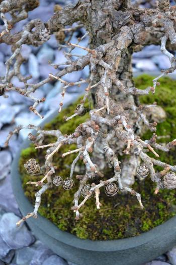 Larch bonsai tree