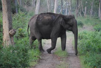 Large indian elephant cross the road