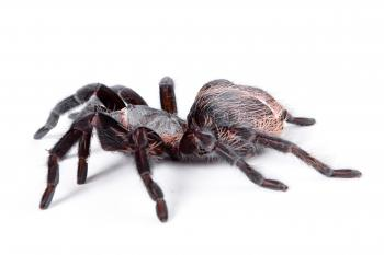 Large Tarantula Spider