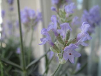 Lavender Flower Blossom